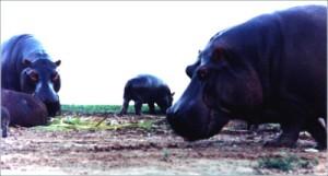 hipopotamosB