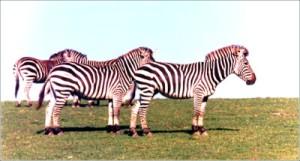zebrasB