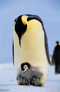 pinguim7